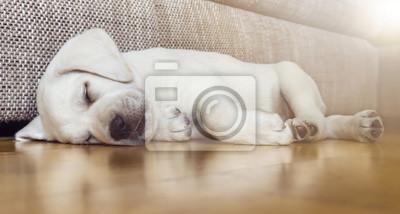 Müder schlafender Hund auf Parkettboden