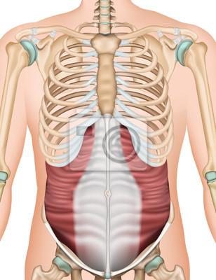 Musculus obliquus externus abdominis vektor-illustration fototapete ...