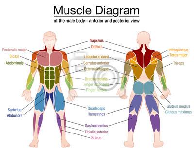 Muskel-diagramm - die wichtigsten muskeln eines athletischen ...
