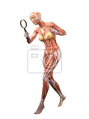 Muskel frau anatomie suchen 3d abbildung fototapete • fototapeten ...
