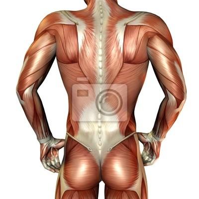 Rücken muskelaufbau