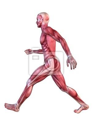 Muskelmodell - mann fototapete • fototapeten anatomisch, physisch ...