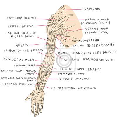 Muskeln der armfarbe fototapete • fototapeten Beugemuskel, deltoid ...