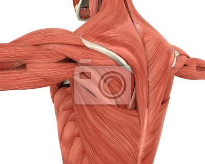 Muskeln der hinteren anatomie fototapete • fototapeten Beugemuskel ...