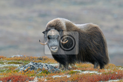 Fototapete Muskox (Ovibos moschatus), Bull, Dovrefjell National Park, Norway, Europe
