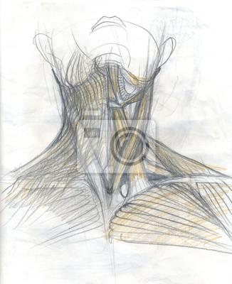 Nackenmuskeln fototapete • fototapeten Schlüsselbein, Sehne ...