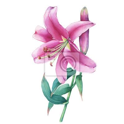 Nahaufnahme einer rosa lilie blume. aquarell hand gezeichnet ...