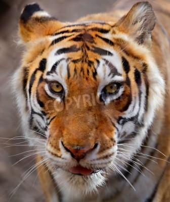 Fototapete Nahaufnahme einer weiß, braun und schwarz gestreiften Tiger