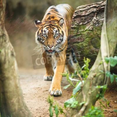 Fototapete Nahaufnahme eines sibirischen Tiger wissen auch als Amur-Tiger (Panthera tigris altaica), die größte lebende Katze
