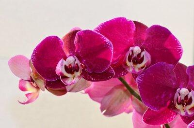 Fototapete Nahaufnahme lila Orchidee