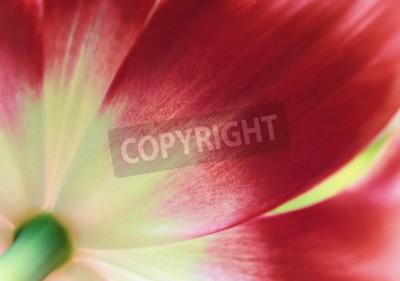Fototapete Nahes hohes der roten Tulpe, abstrakter Frühlingshintergrund