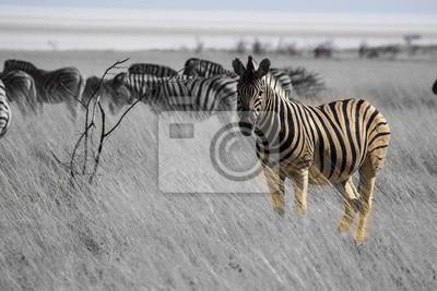 Namibia - Bergzebra im Etoscha Nationalpark
