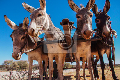 Namibia - Esel in Kaokofeld