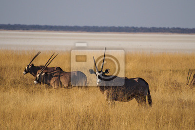 Namibia - Oryx im Etoscha Nationalpark