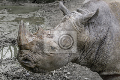 Nashorn Porträt von ganz nah