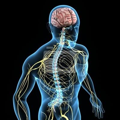Nervensystem fototapete • fototapeten Plexus, sakralen, cerebra ...