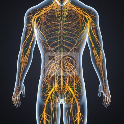 Nervensystem mit lymphknoten fototapete • fototapeten ...