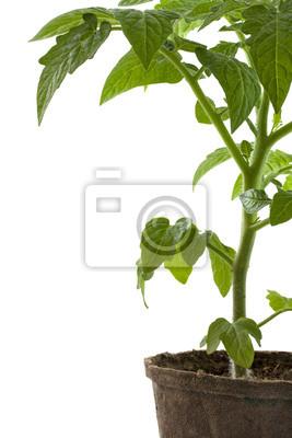 neue Tomatenpflanze in biologisch abbaubaren peatpot
