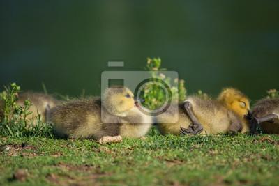 low priced 16f02 f0086 Fototapete: Neues leben. baby gänse verlegung in den grünen frühling gras.