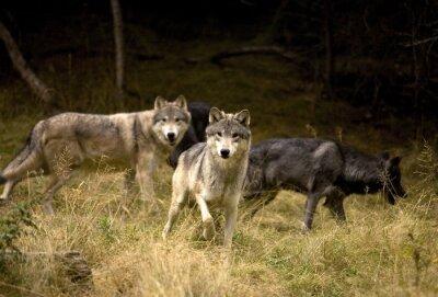 Fototapete Neugierig Wölfe im Feld