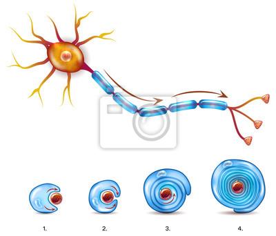 Neuron anatomie und myelin mantel formation um axon fototapete ...