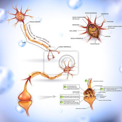 Neuron, nervenzelle, close up illustrationen bündel. synapse ...