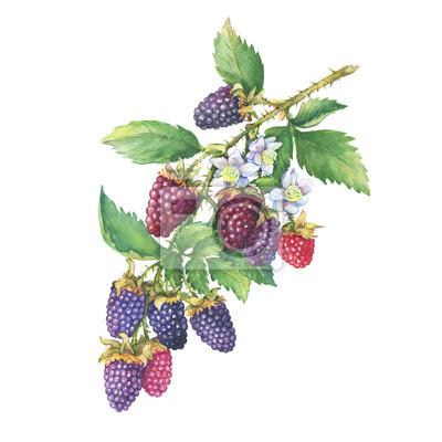Top Niederlassung von reifem boysenberry (tayberry, kreuzung zwischen @MW_05