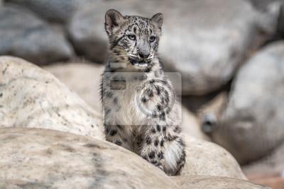 Niedliches Baby Snow Leopard