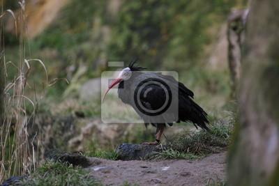 Northern bald ibis (geronticus eremita) standing on a rock