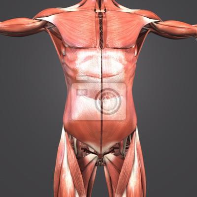 Oberkörper anatomie muskeln fototapete • fototapeten | myloview.de