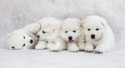 Fototapete One month old Samoyed puppies