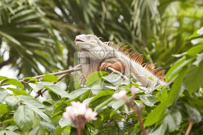 Orange Leguan