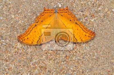 Orange Schmetterling auf die Natur (Common Cruiser, Vindula erota)