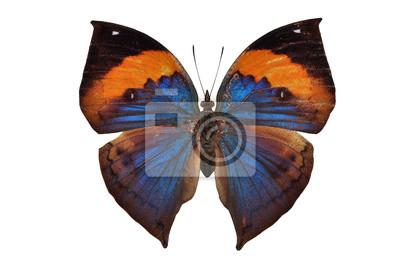 orange Schmetterling (orange Oakleaf) isoliert auf weißem Hintergrund