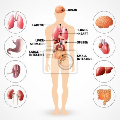 Organe der menschlichen anatomie fototapete • fototapeten Dickdarm ...