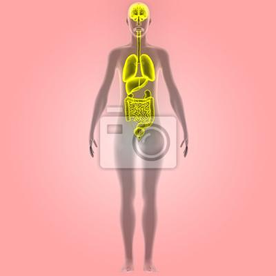 Organe des menschlichen körpers (gehirn, lunge, dickdarm und ...