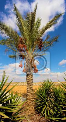 Palme mit Früchten auf einem Hintergrund des Himmels