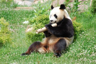 Fototapete Panda 1