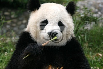 Fototapete Panda