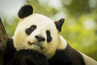 Fototapete Panda awake