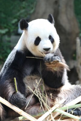 Fototapete Panda-Bär essen Bambus