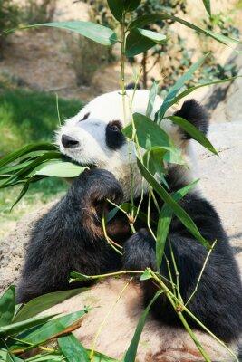 Fototapete Panda essen Bambus
