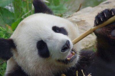 Fototapete Panda géant