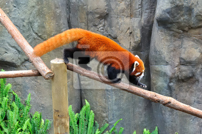 Panda Mehlschwitze sur une branche