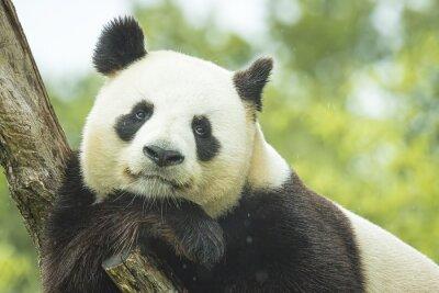 Fototapete Panda Portrait