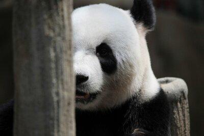 Fototapete Panda tragen Porträt