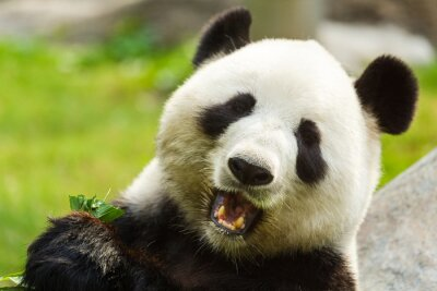 Fototapete Pandabär, der Bambus