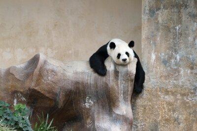 Fototapete Pandabären ruhenden