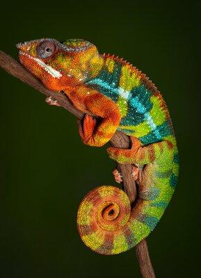 Fototapete Panther Chameleon at rest