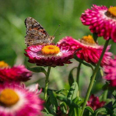 Fototapete Papillon